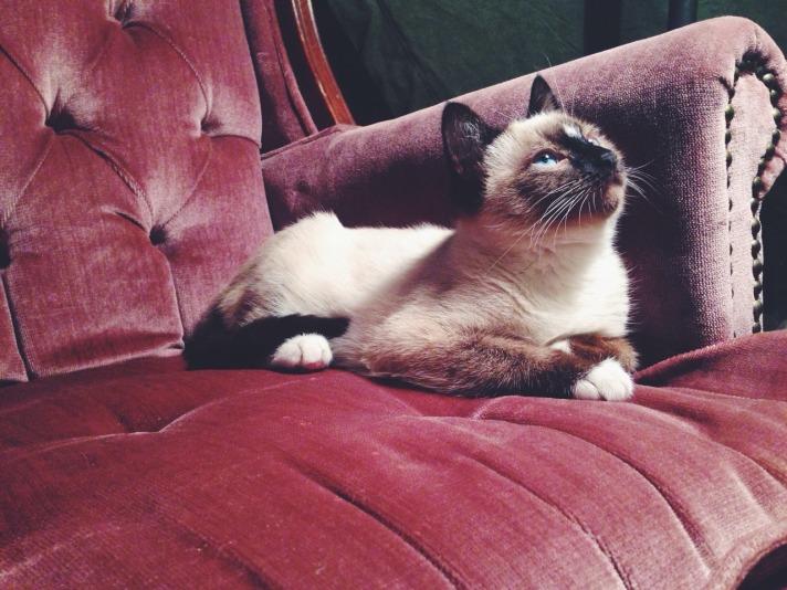 Siamese Cat on Velvet Lounge